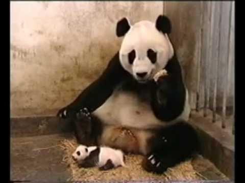 Как малыш мамы-панды напугал ее