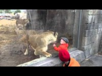 Лев играет с малышом