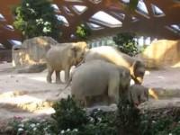 Маленький слоненок оступился и упал. Посмотрите на реакцию слонихи!
