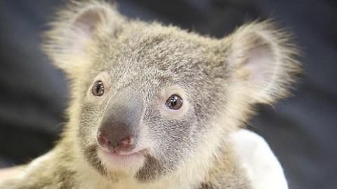 Детеныш коалы обнимал маму всю операцию. Это так трогательно