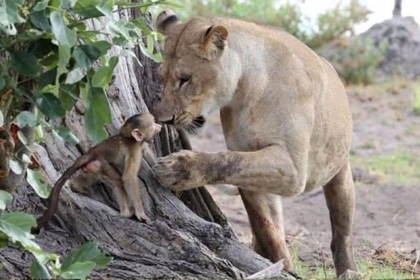 львица и мартышка