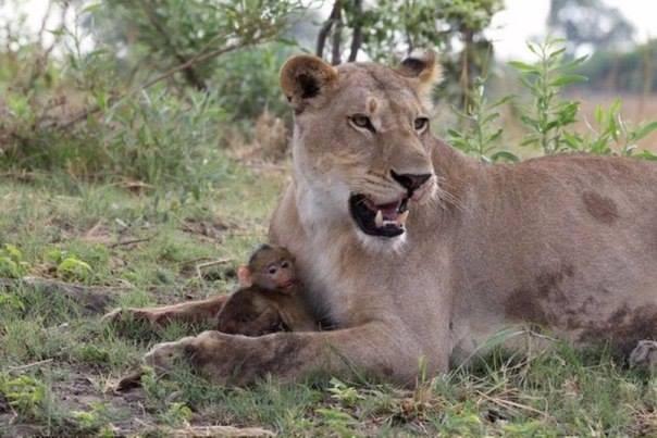 львица мама