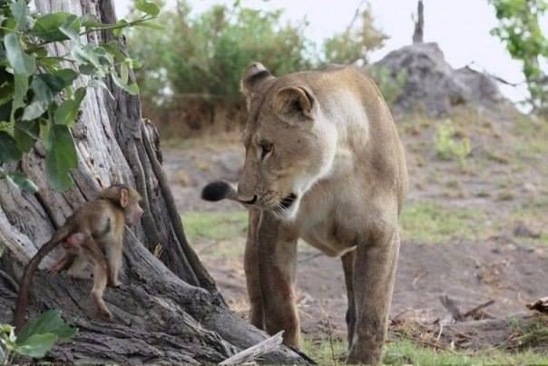 львица пожалела мартышку