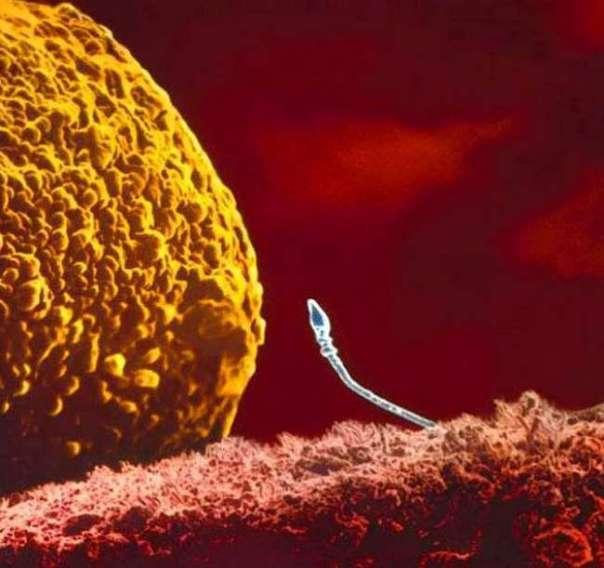 2. Сперматозоид встречается с яйцеклеткой
