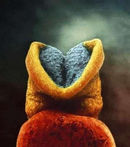 8. Начало формирования мозга у эмбриона