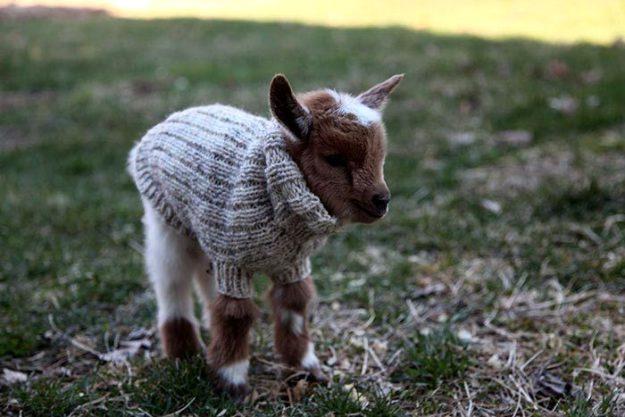 козленок в свитере