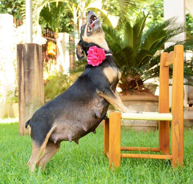 беременная собак