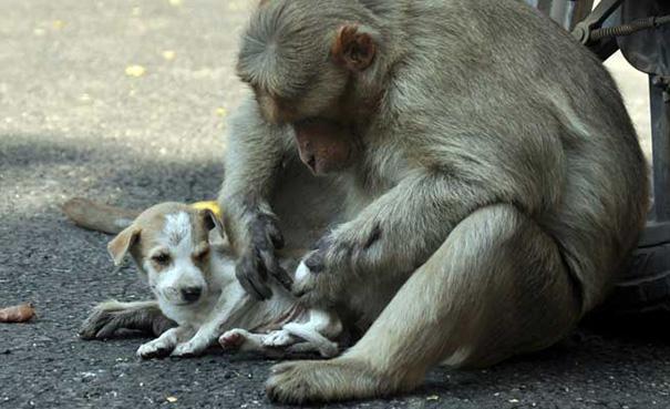 мама обезьяна