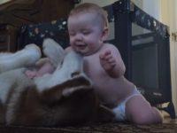 Хаски оставили наедине с карапузом. После этого видео вам захочется завести собаку!