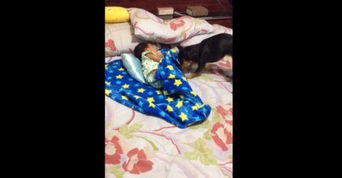 Собака с сильным материнским инстинктом трогательно позаботилась о спящем ребенке