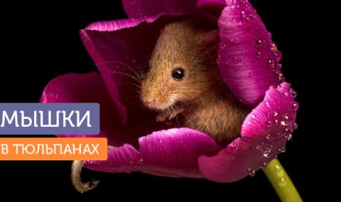 Мышки в тюльпанах: фотографии, которые поднимут вам настроение