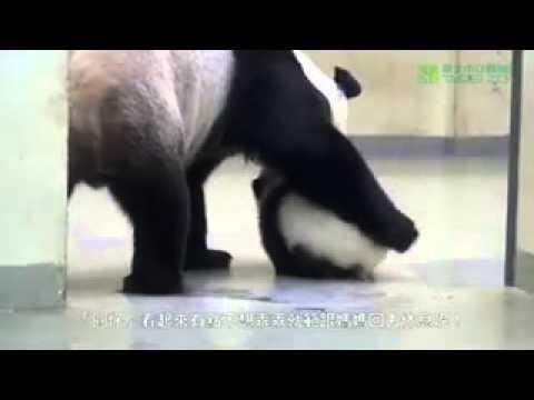 Мама-панда пытается уложить спать сыночка. Безумно мило!