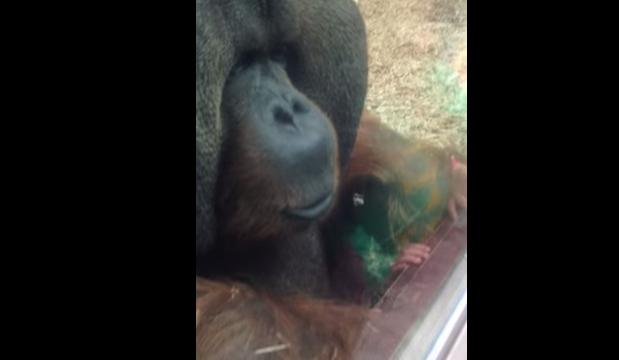 Орангутанг и беременная женщина в зоопарке